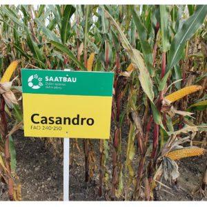 Kukurydza Casandro Saatbau