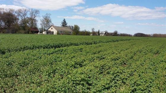 Na początku postanowiliśmy zlustrować poletka doświadczalne rzepaku. Obecnie rzepak znajduje się w fazie zielonego pąka (BBCH 51) i w najbliższym czasie powinien zacząć kwitnąć.